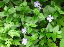 庭の花々、スミレサイシン