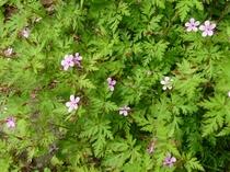 庭の花々、ヒメフウロ