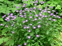 庭の花々、ミヤコワスレ