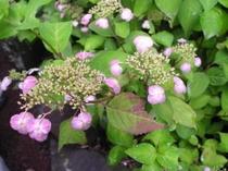 紫陽花(甘茶)