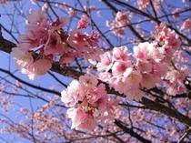 大寒桜 2