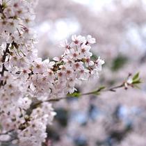 大寧寺の桜(当館から徒歩7分)
