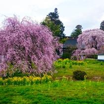 ■慈雲寺桜(見頃:4月上旬)