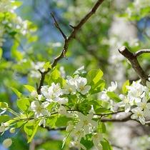 コナシの花の咲くころ
