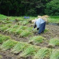 ◆稲刈り風景