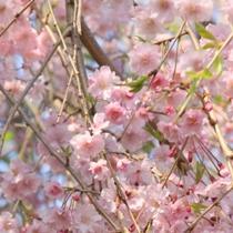 ☆周辺・景色_桜 (1)
