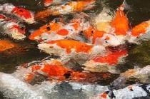 鯉の餌の時間