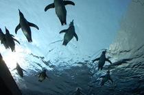 海洋館アクアス フンボルトペンギンの泳ぎ