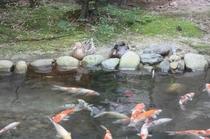 中庭の鴨と鯉