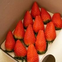 内藤屋で収穫したイチゴ