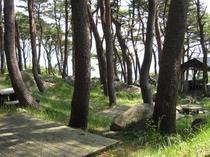 赤松に囲まれた北侍浜野営場