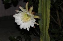 サボテンスマイルにある柱サボテンの花。夜に咲きます。
