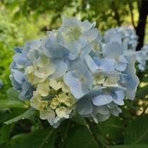 【季節の庭花】紫陽花