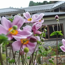 【季節の庭花】シュウメイギク