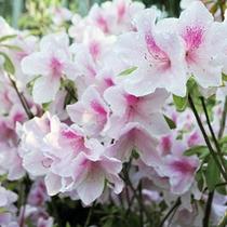 【季節の庭花】ヤマツツジ