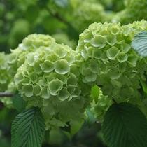 【季節の庭花】オオデマリ