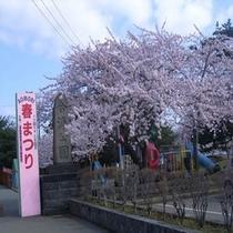 青森市 合浦公園の桜