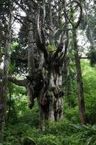乳房杉(ちちすぎ)