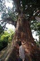 八百杉(やおすぎ)