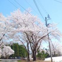*【初春の風景(4月下旬~5月上旬)】残雪の白と桜が綺麗な、湯沢の春。寒い年は降雪+桜が見られる事も