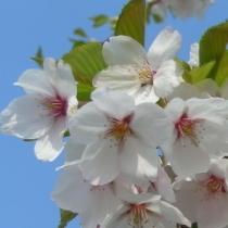 伊豆は様々な桜をご覧頂けます
