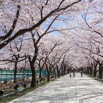【観桜会】桜ロード