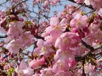 3分咲きの白子の桜