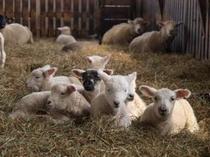 小岩井農場まきば園 子羊