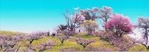 梅の花咲く壮瞥公園