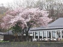 5月桜の頃