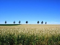メルヘンの丘の麦畑