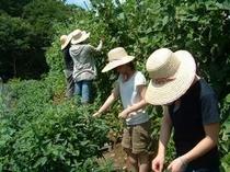 自家製野菜の収穫