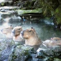 【シャボテン動物公園】カピパラに会える♪