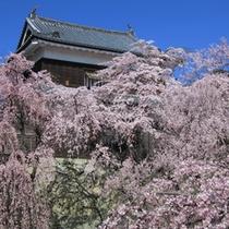 ■上田城址公園の枝垂れ桜