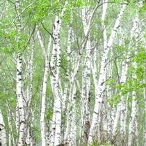 ■白樺の林