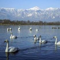 安曇野に飛来する白鳥。毎年1000羽以上がやってきます!