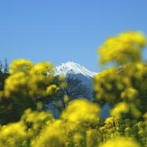 【菜の花と常念岳】