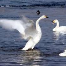 【安曇野に飛来する白鳥】