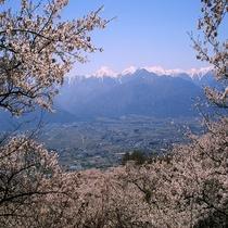 【光城山の桜】