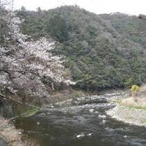 春:渓流から見える桜