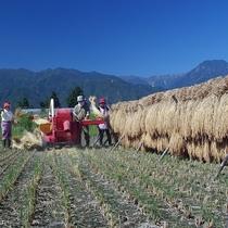 減農薬はぜかけ米(天日干し)の脱穀風景です
