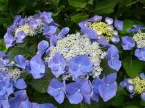 敷地の周りにはアジサイが咲きます。