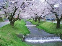 当館から車で5分、観音寺川の桜です。