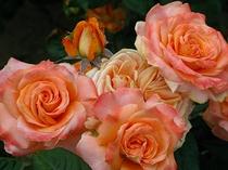 庭の薔薇が咲きました!