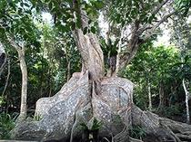 樹齢・・400年 サキシマスオウノキ