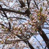 ふる里の桜