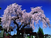 市内妙関寺の「乙姫桜」