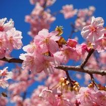 河津桜祭り2月10日~3月10日 ※堂ヶ島から車で約1時間