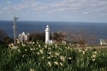 越前岬燈台と越前水仙