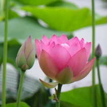 花はす(知里の曙)